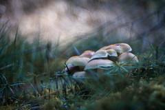 The Secret World of Mushrooms - Part 6 (ursulamller900) Tags: hypholomasublateritium ziegelroterschwefelkopf trioplan2950 mushroom pilze waldgrund wald forest bokeh autumn herbst
