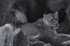 Féline Tendresse 01 (letexierpatrick) Tags: lion lionne couple nature noirblanc noir blanc monochrome nikond7000 nikon animal zoo france extérieur