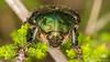 Cetonia aurata (Olli_Pihlajamaa) Tags: animalia arthropoda cetonia cetoniaaurata cetoniinae cetoniini coleoptera hexapoda insecta invertebrata polyphaga scarabaeidae scarabaeiformia scarabaeoidea eläinkunta erilaisruokaiset hyönteiset kovakuoriaiset kultakuoriainen kuusijalkaiset lehtisarviset niveljalkaiset selkärangattomat turilasmaiset heinola päijäthäme finland fi