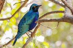 blue-bird (lutz_s) Tags: afrika bird animal blue pentaxart beautiful nature wild planet tree