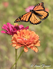 Summer days... (Anne Marie Fraser) Tags: butterfly macro flower flowers monarch monarchbutterfly nature garden zinnias summer summertime insect