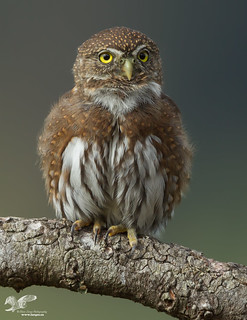 Caught in Mid Toot (Northern Pygmy Owl)