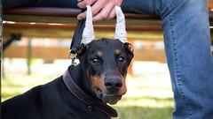 Smile (zola.kovacsh) Tags: outside outdoor animal pet dog event cup algyő dobermann doberman pinscher pup puppy