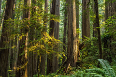 Dense (Aaron Fredericy) Tags: redwoodsnationalpark redwoods redwood redwoodnationalforest california hiking green summer forestfire smoke pacificnorthwest pnw camping explore