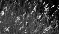 Sun Dance (AnyMotion) Tags: grass gras blooming blühend sunshine sonnenschein light licht bokeh 2015 anymotion vitterbodden hiddensee mecklenburgvorpommern germany deutschland balticsea travel reisen 7d2 canoneos7dmarkii bw blackandwhite sw