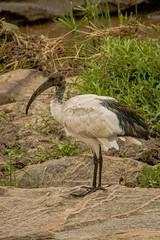 AFRICAN SACRED IBIS (dmberman1) Tags: eastafrica wildlife birds africansacredibis animals tanzania africasafari
