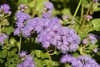 in the Cumberland hospital garden (Val in Sydney) Tags: wisteria festival parramatta park australie australia nsw cumberland hospital