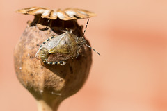 Poppy Shieldbug (oandrews) Tags: bug canon canon70d canonuk dolycorisbaccarum garden hairyshieldbug insect insects invertebrate invertebrates minibeast minibeasts nature outdoors poppy shieldbug wildlife