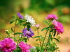 Callistephus chinensis, Астри (R_Ivanova) Tags: nature flower flowers aster macro plant garden summer sony colors color pink blue white rivanova риванова цветя астри макро природа