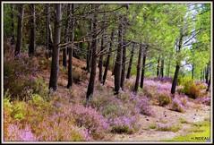 Bruyères (Les photos de LN) Tags: bruyères fleurs pins pinède couleur rose nature paysage montalivet gironde aquitaine forêts bois hourtin