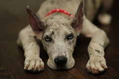 Relaxing...! (GBrister) Tags: bigpaws paws eyes red dog grey beautiful nice dope pretty dogs relaxing ears atlanta merle canon85mm12 canon dane great greatdane