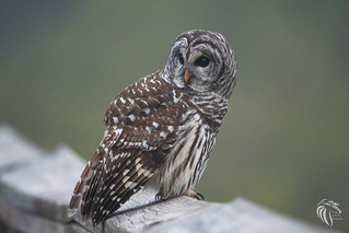 Barred Owls of New Jersey | 2017 - 6