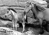 Family (Peaf79) Tags: dartmoor family foal pony dartmoorponies dartmoorpony nikond3000 mono holne