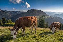 Oberbayrisches Fleckvieh (F!o) Tags: alm almabtrieb almvieh vieh kühe cows weidekühe weide almweide almhütte almbetrieb alpen alps bavaria bayern landschaft landscape tradition berge summit mountains sky clouds sunshine sonnenschein himmel ngc
