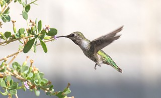Anna's Hummingbird a first for me and a amazing bird