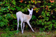 Frisky Fawn (Tom Mortenson) Tags: albino fawn deer wisconsin boulderjunction whitedeer geotagged northernwisconsin vilascounty northwoods 100400l canon canoneos fall wildanimal nature wildlife usa america northamerica midwest mystical woodlandcreature albinodeer albinofawn whitetail ghostlike autumn digital