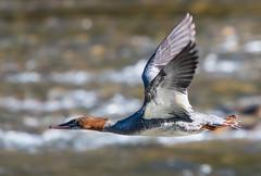 Flying Merganser (Tim Melling) Tags: mergus serrator goosander common merganser canada flying flight timmelling
