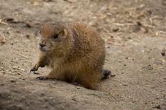 Prairiehond - Prairie dog (Den Batter) Tags: nikon d7200 blijdorp zoo dierentuin prairiehond prairiedog cynomys