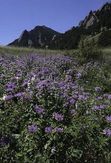 Bee Balm Meadow