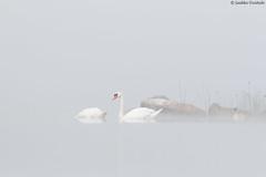 Foggy swans (uusija) Tags: cygnusolor bird kyhmyjoutsen linnut luonto maisema nature sumu swan taulu2017