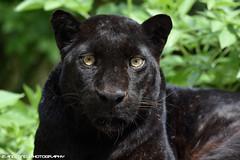 Black leopard - Zoo Amneville (Mandenno photography) Tags: dierenpark dierentuin dieren animal animals amneville zooamneville zoo france frankrijk black leopard luipaard