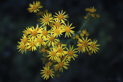 Constellation (shawn›raisin d+p) Tags: 50mm canon6d jacobaeavulgaris plant ragwort shawnwhite bokeh calm dark dreamy enchanting evening flower glowing magical night primelens reflective summer yellow