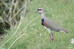 _DSC2645 (P2 New) Tags: 2016 animaux costarica date décembre oiseaux pays statedegolfdelaiguana vanneautéro herradura puntarenasprovince