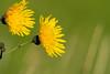 Blumenpracht (juergen.treiber) Tags: schwimmendesmoor sehestedt jadebusen