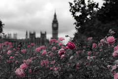 Death of a flower (ethashamahmed) Tags: westminsterpalace bigben westminster flower london
