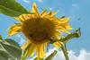 Looking Up 221 of 365 (4) (bleedenm) Tags: peterson garden 2017 abrams august communitygarden summer vegetables illinois usa flowers