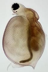 Ceriodaphnia reticulata (mr.sansibar) Tags: photomicrography microscopy heliconfocus polarizedlight waterflea