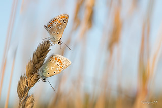Brown Argus and Common Blue together