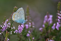 Silver-studded blue (Marrrcelll) Tags: plebeiusargus heideblauwtje silverstuddedblue odoorn drenthe molenveld exloo heide vlinder heath