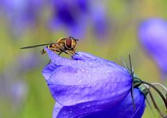 Campanula rotundifolia (Ramunė Vakarė) Tags: campanularotundifolia plant flower wildflowers bluebellbellflower harebell flowerflies syrphidae nature lithuania eičiai ramunėvakarė morning dew