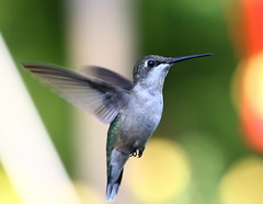 Ruby-throated Hummingbird (emmaellathomas) Tags: bokeh hummingbird