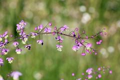 Chinese Meadow Rue! [Explored!] (RiverCrouchWalker) Tags: rhs rhshydehall rettendon essex chinesemeadowrue yunnanmeadowrue flowers purple july 2017 bokeh
