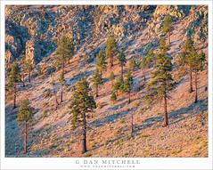 Trees, Volcanic Slopes (G Dan Mitchell) Tags: ponderosa pine mono cones county volcanic slopes sunrise light morning landscape nature lake california usa north america