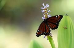 Viceroy butterfly DSC_1879 (blthornburgh) Tags: thornburgh tampa florida flyinginsect flower garden backyard butterfly butterflygarden outdoors raising butterflies colorful pattern orange limenitisarchippus
