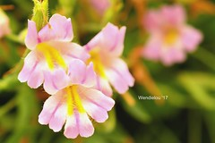 (WendieLarson) Tags: wickedhair wendielou wildflower wildflowers white wild flower fleurs flowers fiori d7000 sierranevada sequoianationalpark california color bloom blossom bigmeadows nikon nature nationalparks mountains macro landscape landscapes petals pink outside outdoors