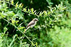 Jerdon's Bush Chat Female (PB2_2067) (Param-Roving-Photog) Tags: jerdons bushchat bird wildlife nature tree birding birdphotography wildlifephotography tirthan himachal nikon tamron female