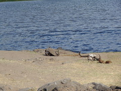 DSC00465 (francy_lioness) Tags: safari jeep animals animali ippopotami leone savana gnu elefante iena pumba tanzaniasafari ngorongorocratere gazzella antilope leonessa lioness facocero