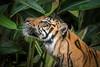 Tiger in the Greens (helenehoffman) Tags: mammal langka tiger sandiegozoosafaripark carnivore animal felidae sumatrantiger bigcat sumatra pantheratigrissumatrae conservationstatusendangered