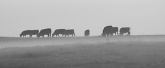 Not everything is black & white (Lancashire Lass :) :) :)) Tags: quote countryside nature blackwhite cows cattle meadow may spring mist evening monochrome field