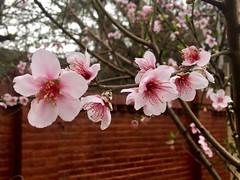 #Durazno #Peach #Flowers #Argentina #Garden #HomeMade (SebaGlobo) Tags: durazno peach flowers argentina garden homemade