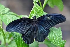 ナガサキアゲハ (yuki_alm_misa) Tags: ナガサキアゲハ 蝶 チヨウ 多摩動物公園 butterfly 蝶々 zoo 動物園 tamazoologicalpark