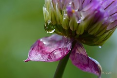 Captured... (Maria Godfrida) Tags: flowers flora drops droplets water petals closeup macro nature tamron nikon purple green garden outside outdoor colours colors