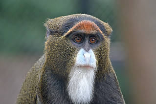 Stylish monkey portrait (2)