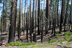 Burned trees were a common sight on this hike (rozoneill) Tags: lassen volcanic national park chaos crags crag lake manzanita wilderness hiking california redding