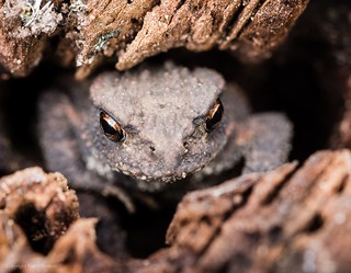Toad (common?)
