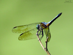 Blue Dasher male Obelisking IMG_7933 (Jennz World) Tags: ©jennifermlivick mountpleasantnaturepark mtpleasant ontario canada dragonfly dragonflies damselfly damselflies